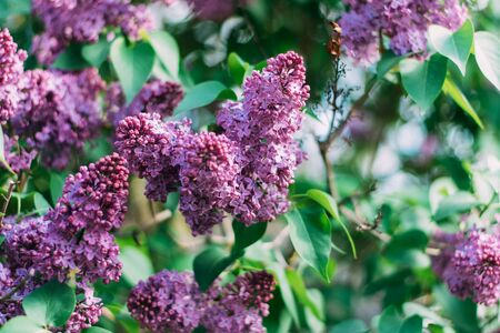 Beautiful lilac flowers bloom in spring. Beautiful toning filter.