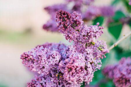 Beautiful lilac flowers bloom in spring. Standard-Bild