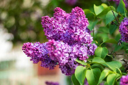 Beautiful lilac flowers bloom in spring. Magic flowers close up. Standard-Bild