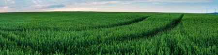 Panorama. Field of ripening green wheat. beautiful view in summer early.