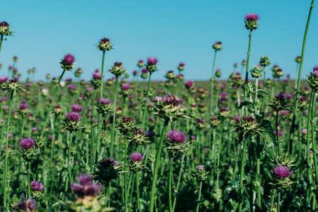 Milk thistle blooms. Growing a medicinal plant on a farm field. Standard-Bild
