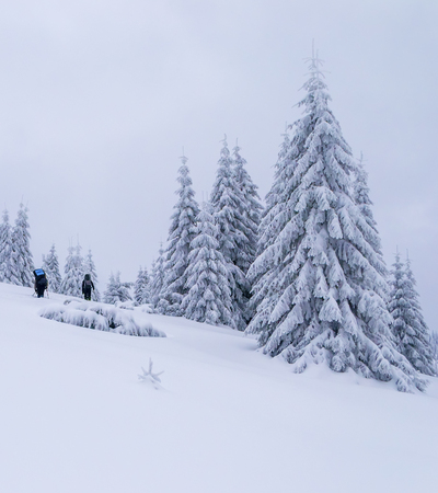 Two tourists hikes on snow. Bad weather. Large snow covered spruce trees near them. Zdjęcie Seryjne