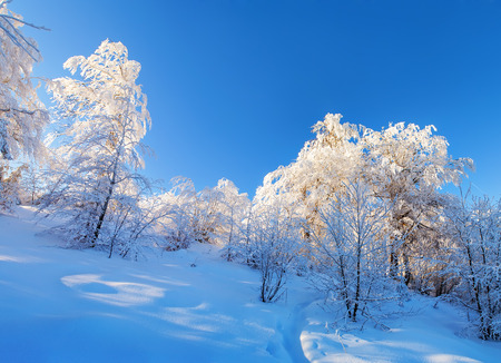 Beautiful winter forest landscape. Snowy trees glow with sunshine.