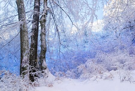 Blue snowy forest. Trees covered with snow. Three trees in front. Winter. Ukraine.
