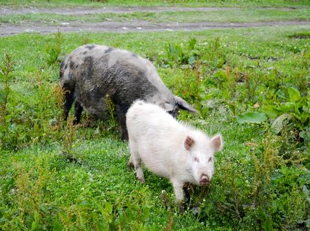 Large hairy georgian mountain pigs graze on the lawn.