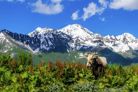 Wild cow against the background of the mountains. The shadow of the clouds falls on snow-capped mountains. Summer in Svaneti, Georgia.