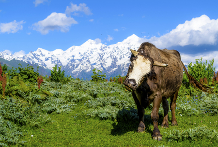 Wild high bull against a background of snow-capped mountains and green grass. Summer in Svaneti, Georgia.