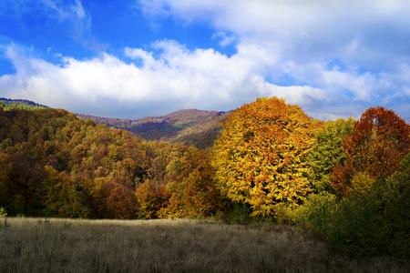 View of autumn forest. The sun shines on a large orange tree. Blue sky. Ukrainian Carpathian Mountains
