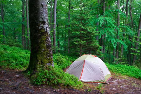 Camping tent in a forest. Cold green colors. Moss on a tree. Spring