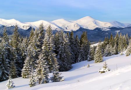 Winter mountain view. Spruce trees on the foreground. Snowy mountain ridge on the background. Ukraine. Carpathians