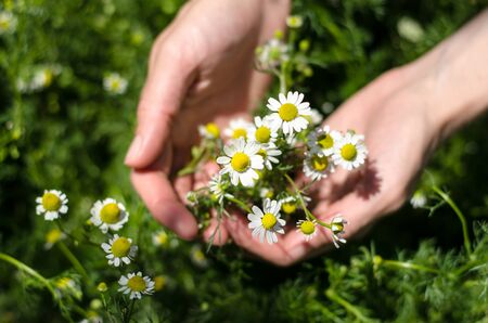 Bouquet of daisies in female hands. Girl collects daisies in the field