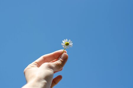 Camomile in a hand against the blue sky. A girl holds a small flower in her hand