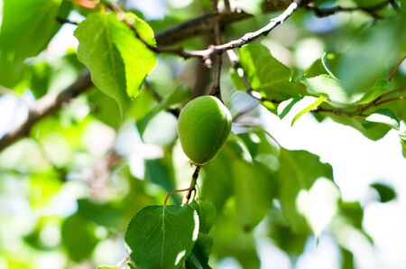 The green ovary of the fruit apricot. Fruit development, initial phase. Green apricot fruit