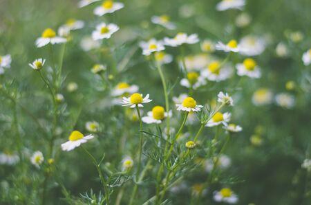 Chamomile flowers in matt tint. Medical camomile. Living plants