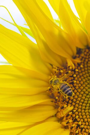 Portrait macro view of honey collection process, bee pollinating beautiful sunflower with sky on the background