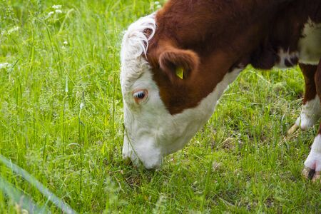 Big brown cow with white head eat grass on the field. Cow eating process, cow lunch.