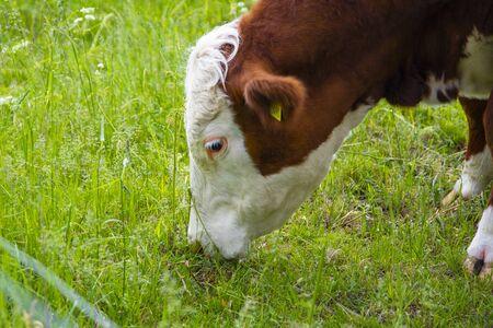 Große braune Kuh mit weißem Kopf fressen Gras auf dem Feld. Kuh-Essen-Prozess, Kuh-Mittagessen.