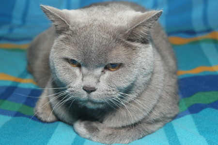 grey cat: British Grey Cat