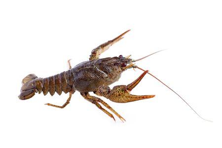 Crayfish, crawfish isolated on the white background.