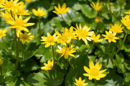 Yellow Lesser celandine flowers in spring on a green natural background 版權商用圖片
