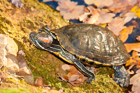 long lived: turtle red-hooting