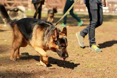 Training class for a K9 german shepherd detective dog. Scent training and searching for a track Archivio Fotografico - 132554614