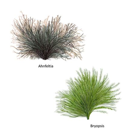 Hand drawn vector illustration of colorful sea weeds: Ahnfeltia and Bryopsis, genus of red and green algae. Isolated set of algae on white background