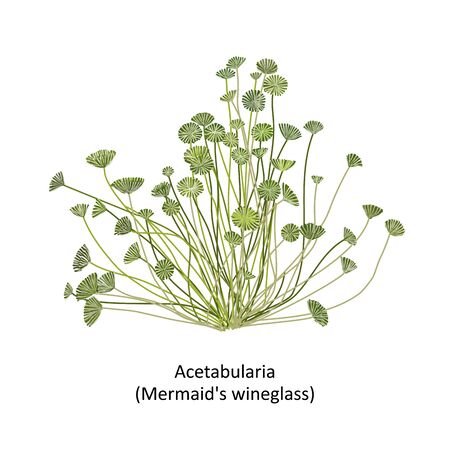 Hand drawn vector illustration of colorful sea weed Acetabularia or mermaids wineglass, genus green algae. Isolated on white background with text