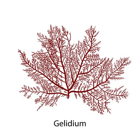 Gelidium or Chaetangium - a genus of thalloid red algae, often used to make agar. Hand drawn vector illustration Иллюстрация