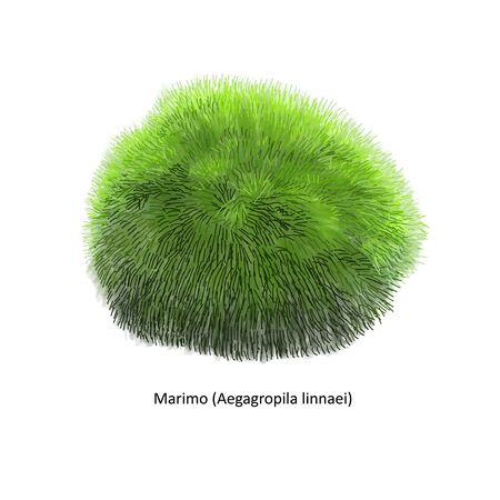 Aegagropila linnaei, known as Marimo, Ball seaweed, Cladophora ball, Lake ball, Mossimo or Moss Balls, species of filamentous green algae (Chlorophyta). Hand drawn vector illustration, isolated