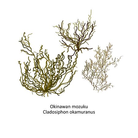 Hand drawn vector illustration of japanese Okinawan mozuku or Cladosiphon okamuranos, genus brown algae. Isolated on white background with latin script text