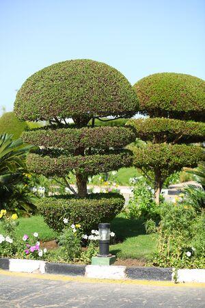 Creative artistic shape topiary tree. Gardening landscape design