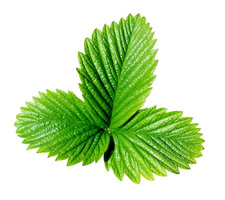 A green strawberry leaf isolated on a white background.  Banco de Imagens