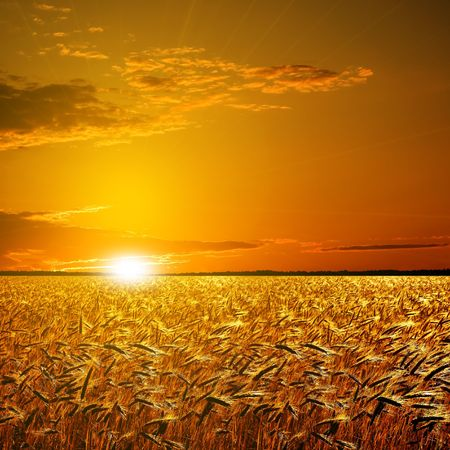 Wheat field on sunset background.