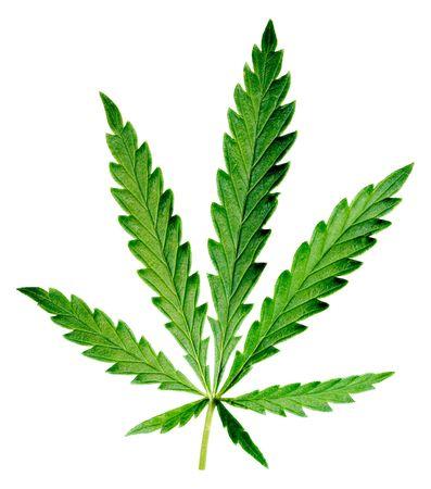 dope: Leaf of hemp on white background (isolated).
