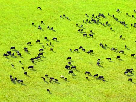 Cow herd on green field. View from above.