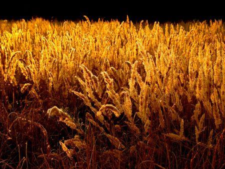 goldish: Goldish grass on black background.