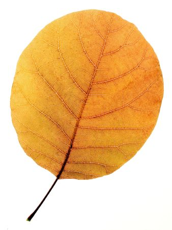 Yellow dried aspen leaf on white background (isolated). photo