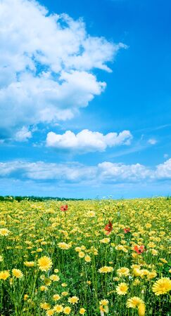 Yellow flowers on field and white clouds on blue sky background. photo