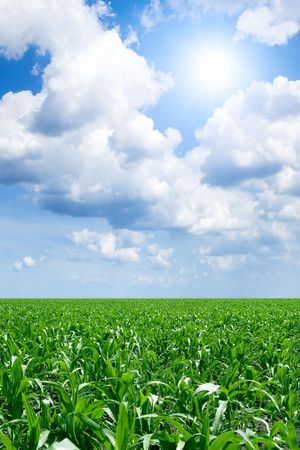 Green field of young corn and blue sky with sun and white clouds. Banco de Imagens