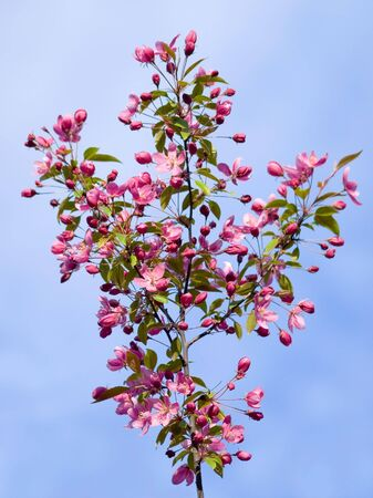 Blossomed apple tree on blue sky background. photo