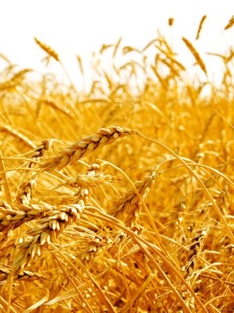 grain fields: Wheat ears isolated on white background.