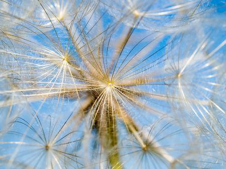 Dandelion closeup on blue sky background. photo