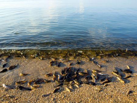 Dead fish from heat on seashore.