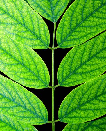 Acacia green leaf isolated on black background. Stock Photo - 7672450