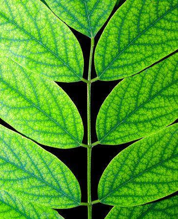 Acacia green leaf isolated on black background. Stock Photo - 7672450