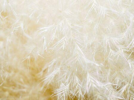 fluffy tuft: White fluffy plant closeup background. Stock Photo