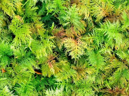 dense mats: Green lush plant texture closeup background. Stock Photo