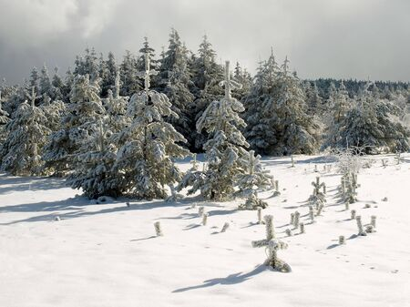 wintry: Wintry spruce forest. Stock Photo