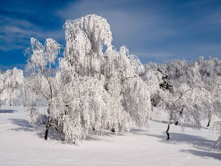Snowy landscape with white trees. photo